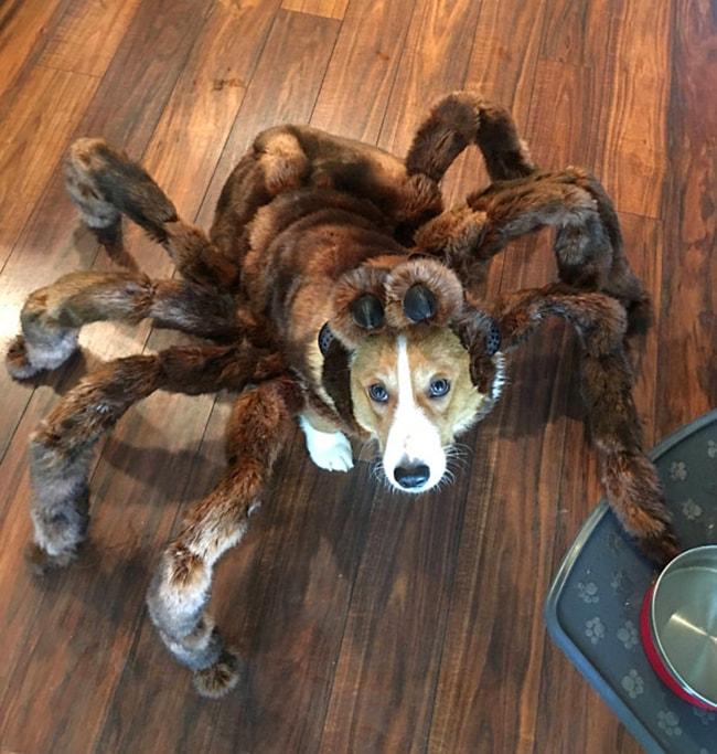 Como Hacer Un Disfraz De Araña Para Perro - Noticias del Perro